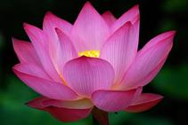 Symbols of buddhism buddhism the sacred lotus flower represents rising and blooming above the murk to achieve enlightenment it is a symbol of fortune and also resembles purification mightylinksfo